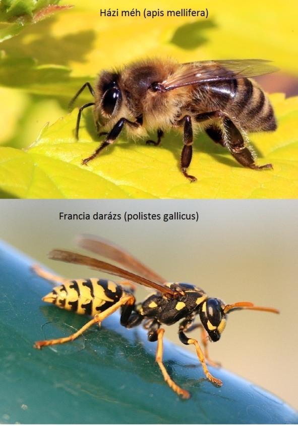 Hogyan néz ki a méh és a darázs?